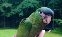 Beautiful Hahns macaw babies! Hahns macaws are your smallest macaws! We can ship for $125 and we can DNA for $25! Please contact me with any questions. Thank You! https://www.facebook.com/PoconoAna