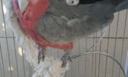 Selling my rose breasted cockatoo I've had her since she was a baby she is 3 years old and hand fed I also have her certificate of DNA proven female reason I am selling her is because I don't have time for her and im also moving she's great with people