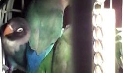 One beautiful hand tame baby black mask asking 50.00. 2 beautiful hand tame baby peach face asking 35.00 each. 1 beautiful hand tame baby parakeet asking12.00. 4 beautiful hand tame baby fisher asking 40.00 each. 1 adult dutch blue love bird asking 40.00.