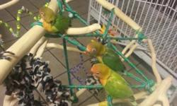 Hi, we have some beautiful hand tame fischer lovebirds that needs to find good homes. For more information please call or tex me at 520-560-8158 thank you I LIVE IN CASA GRANDE