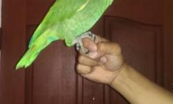Beautiful Hand Tame Talking Orange Winged Amazon. (Please No Emails, Only Phone Call 562-965-9167)