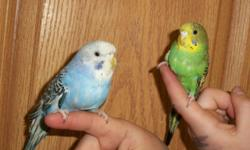 I have 7 beautiful hand fed male & female parakeets. Male and females available in a variety of colors. We have green, blue, white, purple, grey and others. All very tame. They will sit on your shoulder won't fly off. They have been exposed to other