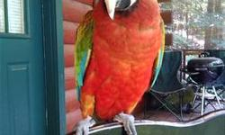 Hybrid Macaw for sale, she is 4 years old very tame and lovable!! Can talk, and lives to sing, her favorite is happy birthday. I have moved and can not keep her where
