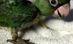 Beautiful Jardine parrots are available. Taking a deposit on these baby birds now. Contact me with any questions. https://www.facebook.com/PoconoAna
