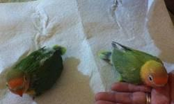 Beautiful LoveBirds $30 and up. Young or Adult Breeders Serious inquiries only, Please call only or text, No Emails !