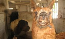 He is a beautiful red and white registered alpaca male. He's 12 years old and a proven breeder.