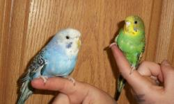 I have about 5 parakeets i need to find a home for. They have not been played with much. There are a variety of colors. I wouldnt say there noisy nor quiet. There are 3 females and 2 males i think. If you would like more information on them please call or
