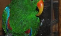 "PRICE REDUCED! Chico is a beautiful ""teenaged"" Solomon's Island Eclectus Parrot. He is a great bird with an ever-expanding vocabulary. He is seven years old and was born in February of 2006 from a reputable aviary. We just don't have the time to give him"