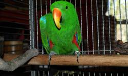 Price reduced. Will entertain offers. Chico is a nine year old male Solomon's Island Eclectus parrot in need of a home that will give him the attention he deserves. He was purchased from a reputable aviary after being hand fed. His beak has been trimmed