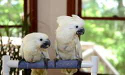 Beautiful Meyer babies available. Taking a deposit on these baby birds now. Please contact me with any questions https://www.facebook.com/PoconoAna
