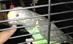 We have a beautiful 2 year old Female Meyers Parrot. She was hand fed by me since she was only 3 weeks old. She is a complete sweetheart and never bites. She loves everyone including my dog. She knows how to say her name but other than that she is pretty
