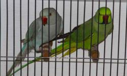 I have a beautiful pair of Cape Doves. Excellent feather and condition. $200 for the pair. Call Mike at 760-220-3573.