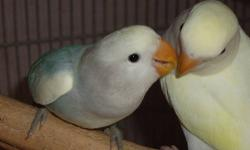 proven pair of lovebirds, male Fischer and female masked Fischer, They are about 2.5 - 3 years old. very beautiful birds, bright colors, healthy and active, not tame because they are breeding pair I'm asking $80 I don't want to rehome them but I have no