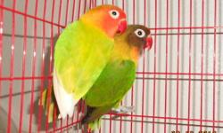VERY BEAUTIFUL BRIGHT COLORS PAIR OF FISCHER LOVEBIRDS, male and female (proven) They are about 2.5 - 3 years old. very beautiful birds, healthy and active, not tame I'm asking $80 for them, no cage because they live in built in aviary. I don't want to