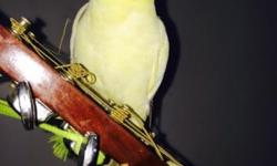 Beautiful pair of white cockatiels for sale. Please call for pricing, I?m located in Brooklyn.