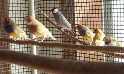 I have 2 young pair's of Parrot finche's , First pair - . Male is blue headed, dark green body and red tail, split to Lutino . female is full rare Lutino. 2nd Pair . Orange headed pied Sea Green . These are beautiful and easy to take of finches. They get