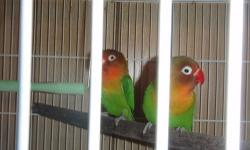 Beautiful rare 10 week old Fischer Lovebirds available NOW! Fully weaned and ready for their new homes. Photos are of the proud parents and their babies. Eating Roudybush and Seed Mix. They have not been DNA'd so could be males/females. I am able to meet