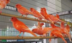 WE HAVE A GREAT SELECTION OF RED FACTOR CANARIES ALSO AMERICAN SINGER YELLOWS AND MORE FOR MORE INFO PLEASE CALL (619)249-9831 OR COME VISIT US AT 9531 JAMACHA BLVD SPRING VALLEY 91977 THANK YOU SE HABLA ESPANOL
