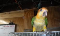 This lovely baby is a character she is so sweet and tame great with kids!This beautiful WHITE BELLIED CAIQUE is 13 weeks old. It was hand fed and is very sweet& tame. It is ready to go home. It's un-sexed. If interested you could email or call