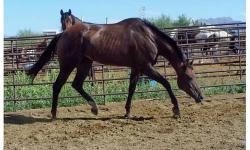 Majik is an 11 year old TB/Arabian cross who stands a solid 16 hands tall. She very well trained, neck reins with the lightest touch, knows her leads, etc. I do not have any registration papers on her. She is a very sweet and loving mare, sound, healthy.