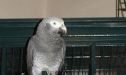Beautiful 7 year old female Umbrella Cockatoo with cage. Talks and says name. Very beautiful bird. Call 815-878-7733 and leave message.