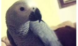 BEAUTIFUL YOUNG CONGO AFRICAN GREY FEMALE, ONE YEAR OLD, TAME, TALKS AND MIMICS MANY DIFFERENT SOUNDS. CAGE,FREE STANDING LARGE NATURAL WOOD PARROT PERCH ON CASTERS FOOD AND TOYS ALL INCLUDED FOR $ 875