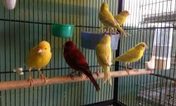 I have several young opal canaries for rehoming. Price is $55 and up depends on color. Green opal, yellow silver opal, red brown opal. They're all this year bird, closed band and will be ready for breeding this coming season. This ad was posted with the