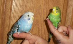I WILL BE WILLING TO MEET ON DEC 20TH. I AM GOING TO MAPLE GROVE AND ST.CLOUD AND COULD MEET ALONG THE WAY. IF YOU WOULD LIKE TO MEET ME I MUST KNOW ON OR BY DEC 19TH. I have about 5 parakeets i need to find a home for. They have not been played with