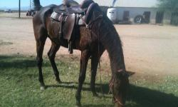 Captain is a 17.1hh, 11 yr old, GENTLE,appendix gelding who is safe for the whole family! He is good out on the trail as well as in the arena. He has no bad habits WHAT SO EVER. He is easy to catch, in fact he comes to you and puts his head down for the