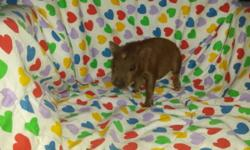 Boris and Bernie are littermate brothers born on 5-23-16. Both are charming chocolate nano to super micro mini piglets. Their full profile with pics, and individual pricing can be seen at WWW.OWNERSPRIDECOMPANIONS.COM micro piglets page. Each companion