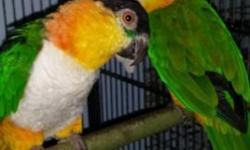 Hi evryone I am re-home my beutiful BH caique this is a nice company reason to re-home is because my landlord told me he those one more birds please any someone likes birds also I have my breeder pair of black head caiques this pair is only for breed for