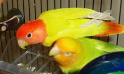 You'll love these healthy and nice looking lovebirds!!! They are very well taken care of. Some are very rare colors. Female lovebirds are also available. Proven pairs, some are ready to breed. If interested, please call Bob at 718-845-6382. Thank you!