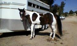 Cutter is a very handsome,correct and sound bay quarter horse gelding. He has very smooth gates and loves to go out on trail. He goes thru water crossings too. He also likes to sort cattle! I just am not riding as much lately and want to find him a new