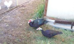 Young muscovy ducks. Great for your pond or eating. Corn fed. 281 813 5284