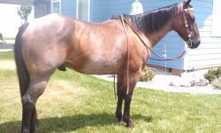 This 5 year old gelding has had an excellent start! He has had 2 months pro training as a mounted police horse and 5 months pro training using Buck Brahnamann methods. He has trail miles under him western as well as some english rides done in the arena.