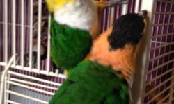 I have a pair of Black Capped Caiques, small parrots. Alvin is my first and is the male who is 5 years old. Sonjia is the female. She is a year younger than Alvin. Both talk and were really tame but I have quit playing with them so they will want to