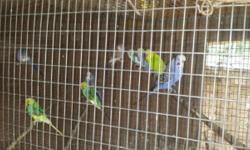 I have a beautiful pair of cockatiels and 2 whitefaced babies. I also have 2 pairs of parakeets. Make offer for all. Need gone soon. Not tame, but beautiful!!! No cages come with these guys.