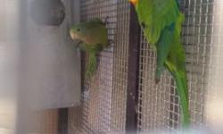 I am rehoming most of my birds. Indian ringnecks 300 pairs Conures 300 pairs Cockatiels 80 pairs Parakeets 10 Canaries 40 Rosella 150 Australian barbian 500 pairs Red rumps 150 pairs Princess of wales 300 pairs