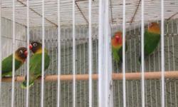 2 breeding pair Lover birds Each pair $90 2 breeding pair Cockatiel Each pair $90 Pájaros listos para Rreprodusir De un año de edad 408) 759.9807 This ad was posted with the eBay Classifieds mobile app.