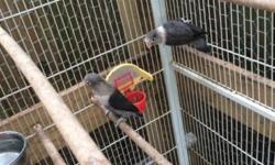 I have: -2 gray lovebirds, male/ female with cage for $150 -pair of young cockatiels for $150 with cage - 2 young gray lovebirds $50 each or $75 for both with cage This ad was posted with the eBay Classifieds mobile app.