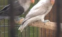 I have: -2 gray lovebirds, male/ female with cage for $150 -pair of young male cockatiels for $60 each or $100 for both - 2 young pair of gray lovebirds $50 each or $75 for both with cage This ad was posted with the eBay Classifieds mobile app.