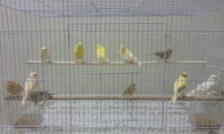 I have lots of birds to choose from mordan 100 canarys, African gray, pineapple and janda conure, lovebird, parakeet, finches, Meyer parrot, english budged ........ please call or text for price and availability
