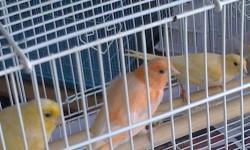 We have Cockatiels, Parakeets,Waxbills(finch),spicies of Australian Parakkets. We sale ,Babies,Pairs,Singles,Pets & Breeders .Quantity discount avaliable!. We also sale by Order, Congos, Amazonas(Parrots).Cockatoos,Conures;Health Guaranteed