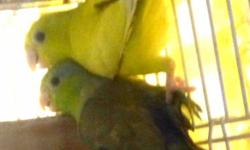Parrotlets, breeding pair, good parents, male is green split to yellow, female is yellow. Healthy birds in good feather from smoke free home. I am moving into limited space. They come with a free bag of food, great birds, about two years old. $250 for the