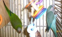 Quaker parrots, DNA?d banded pair, one blue and one split to blue, perfect feather, breeding pair (not hand tame), two years old with cage and supplies. $550 623-873-5215, please, no text to land line.