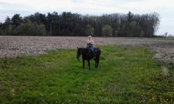 black/bay quater horse gelding 12 years old, 15.2 hh quiet nature, rides nice. do not have time for him good feet and sound