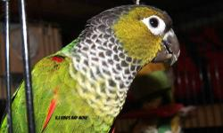 I have a 9 month old Black Cap Conure. He is DNA'D (male). He is a breeder only, and has mated a few times with another conure that I had him with. But took him out so no hybrids where made. He is a very smart bird and starting to talk a little bit. I'm