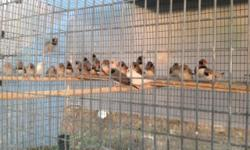 Lots of black cheek finches $6 each buy 10 or more $5 each (619)245-7065 call or text only