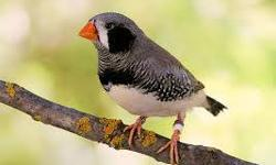 Gorgeous Black Cheek Zebra Finch (young ones).... $13each or $20 for Pair Regular Zebra Finches also available $7.00 each or $20.00 with cage, food, toy, spray millet, food trays!!! Please call me @ 909-440-7182
