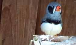 I have several black cheeks zebra finches male and females avaliables Looking to sell for $8 each (must to buy 10 or more) Txt to 619-438-3770